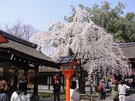 平野神社2.jpg